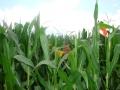 Didzis kukurūzā